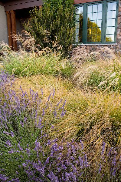 Anemanthele lessoniana (syn. Stipa arundinacaea) - New Zealand Wind Grass -zone 8-10 with lavendula and stipa gigantea