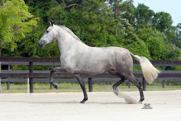 ANDALUSIAN MARE