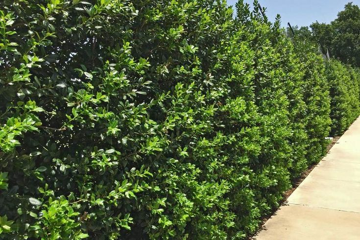 Holly Best Trees for Landscaping | Plants for Dallas - Your Source for the Best Landscape Plant ...