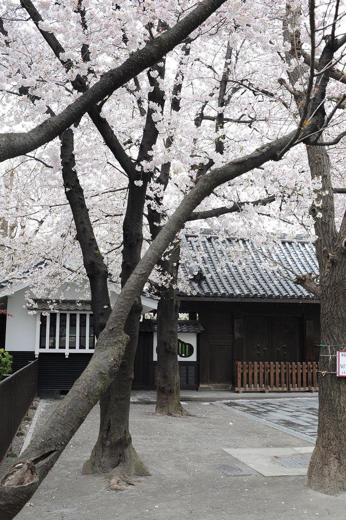 Japanese House & White Cherry Blossoms