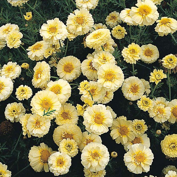 Chrysanthemum coronarium 'Primrose Gem' - Hardy Annual Seeds - Thompson & Morgan / proposing:  Chrysanthema coronaria 'Pickford choice' /Fb.ltd