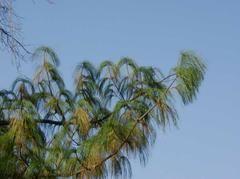 Pinus wallichiana - Plant Finder