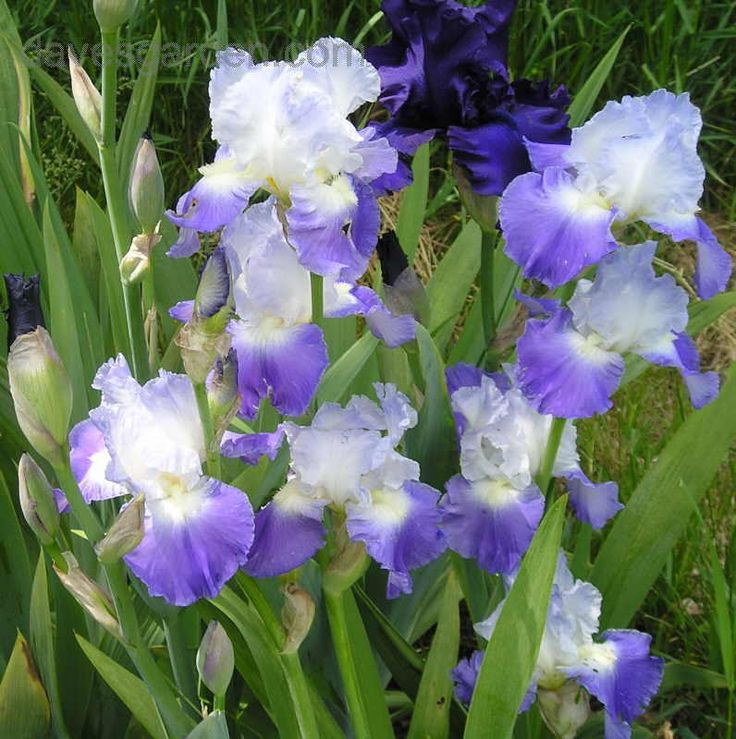 Tall Garden Flowers 132 best iris images on pinterest | flower gardening, iris flowers
