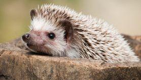 How Long do Hedgehogs Live? | Hedgehog Lifespan