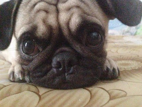 Funny And Cute Pug Videos Compilation 2016 - Funny Dog Videos 2016 - YouTube