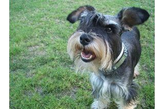 How to Clean a Schnauzer's Beard