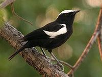 White Headed Black Chat - Warthog Lodge  #bird, #nature, #birding