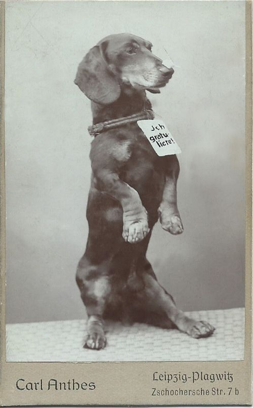 """c.1890-1910 cdv of dachshund sitting on his haunches with a hand-written sign hanging from his collar that says, """"I congratulate!"""" Photo taken by Carl Antbes, Leipzig, Germany. Many thanks to my translator. From bendale collection"""