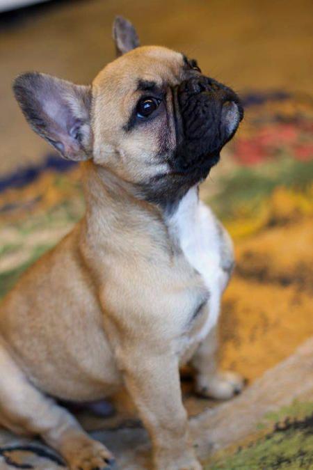 Sebastian the French Bulldog (possibly the cutest dog ever!)