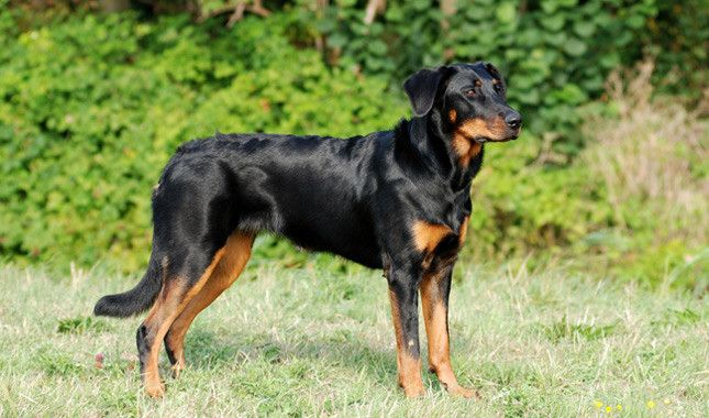 Beauceron Expect to be herded by this stubborn French beauty. Highly versatile…