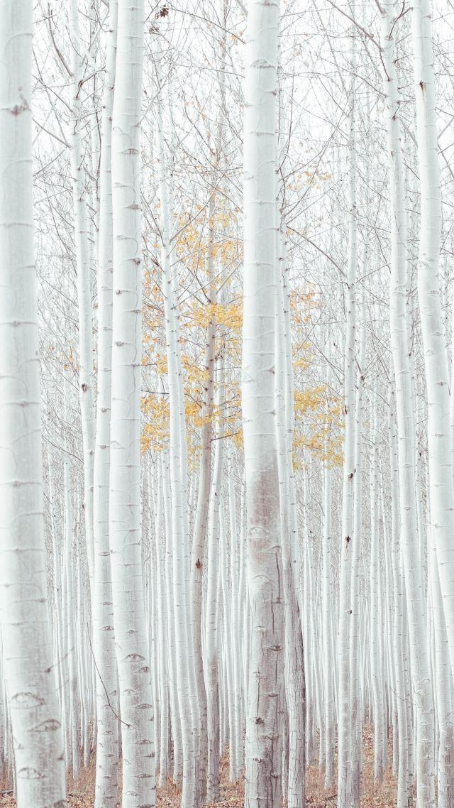 White Trees Forest 4k Vertical White Wood Wallpaper White