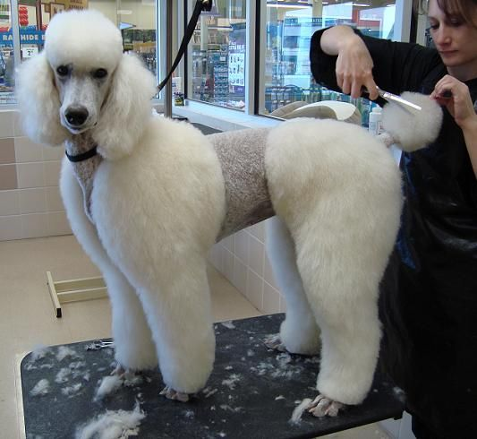 town and country poodle haircut 43 best poodle images on 4994