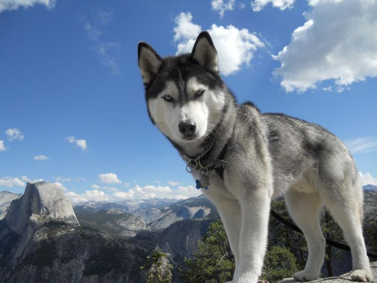 Siberian huskies are relatively easy keepers, but their thick coats require weekly brushing. New owners should be prepared to provide an outlet for exercise daily, whether through walks or an enclosed space in which to run. Predatory instincts are strong, so Siberians should be supervised around small animals in and around the home.
