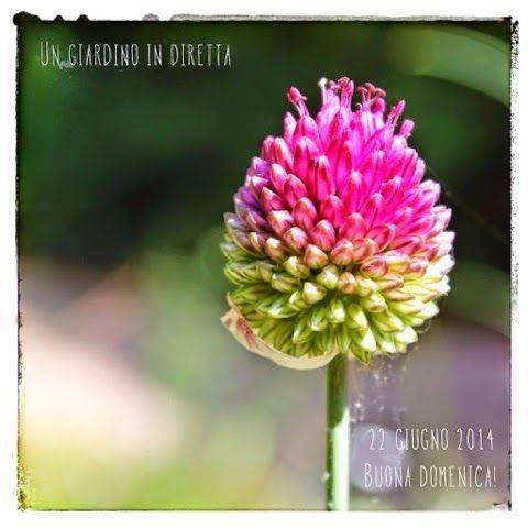 In diretta dal giardino: buona domenica! 271/365 Aglio delle serpi (Allium sphaerocephalon L. subsp. sphaerocephalon) #giardino #giardinoindiretta #fiori #montagna #spontanee