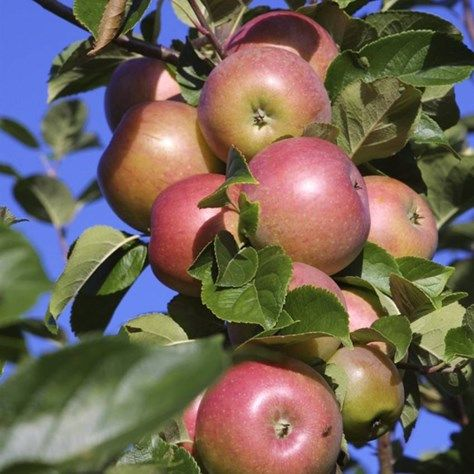 Apple tree - good for solitary bees
