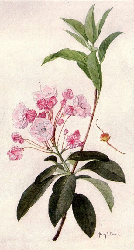 87 best images about mountain laurel on