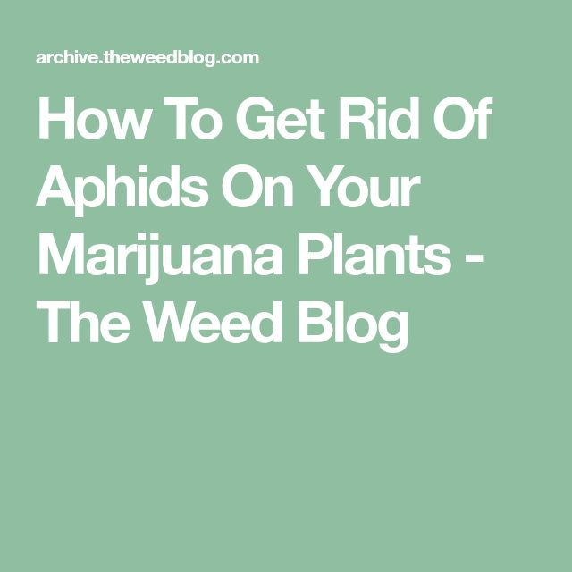 How To Get Rid Of Aphids On Your Marijuana Plants - The Weed Blog