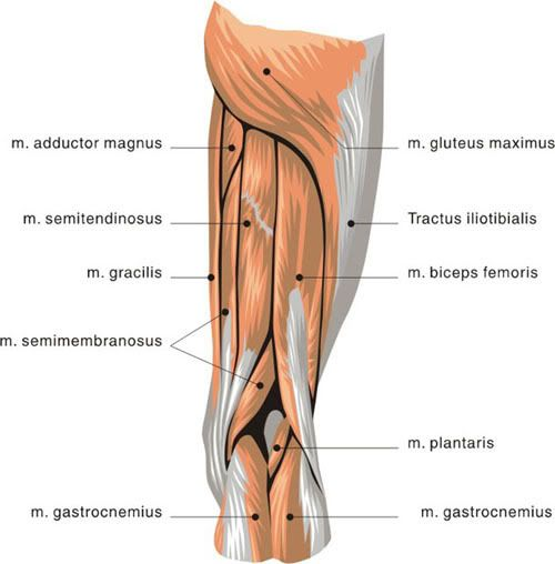 Upper Thigh Something To Think About: 49 Best ANATOMY Images On Pinterest