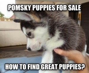 where to find Pomsky for Sale - I need to remember this