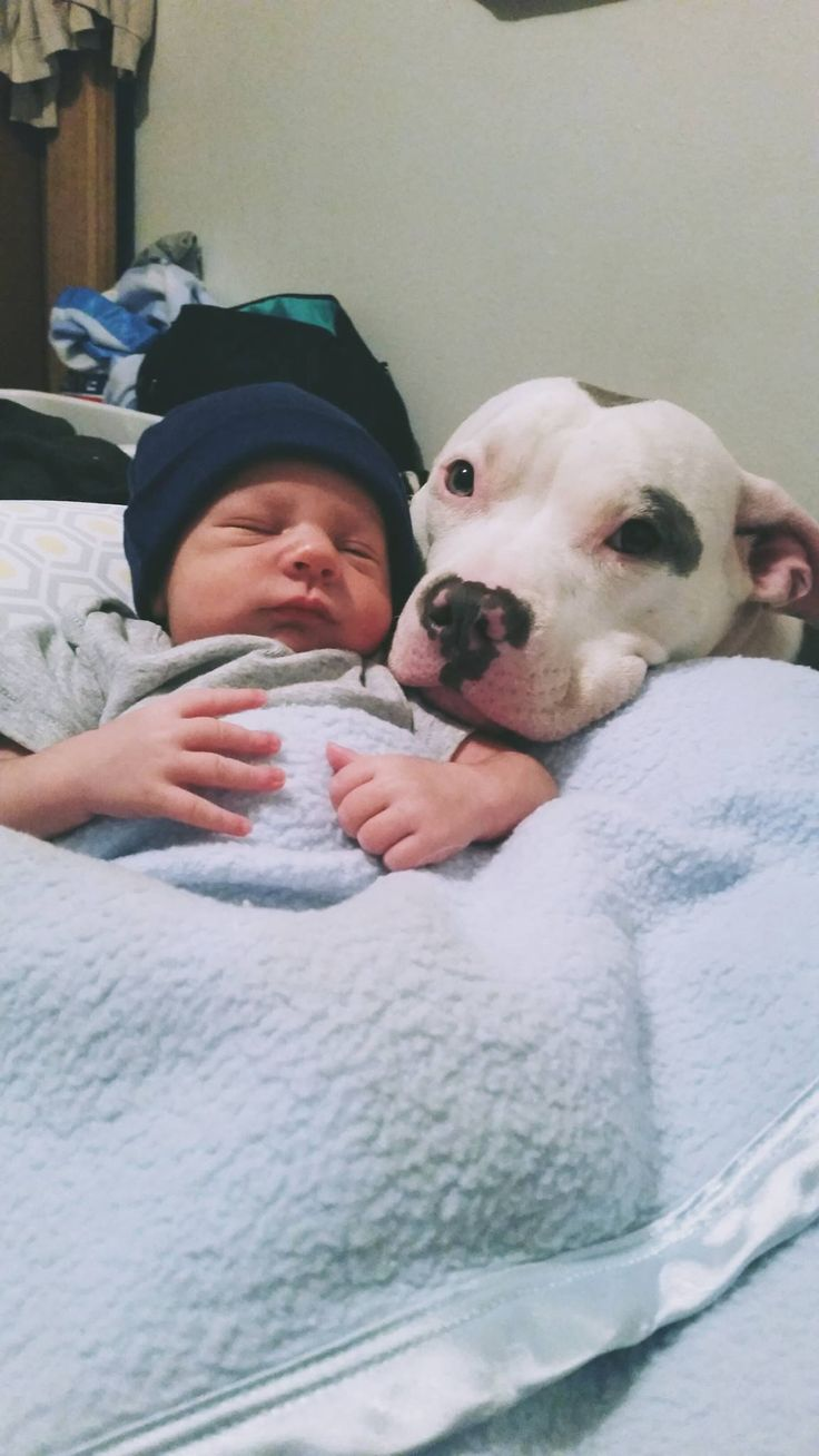I let a pit bull near my baby: This is what happened. Cute little story in defense of pit bulls.