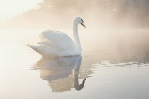 Love,  Grace,  Union,  Purity,  Beauty,  Dreams,  Balance,  Elegance,  Partnership,  Transformation. reminds us of our inherent glory, power and beauty (as the duckling was always a graceful swan). It also encourages us to have faith and have a persistent heart while pursuing the gifts that are our birthright.