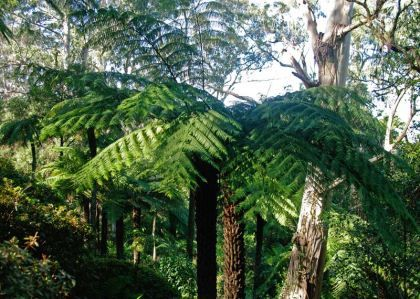 Cyathea australis - Rough Tree Fern has large fronds up to 5m in length