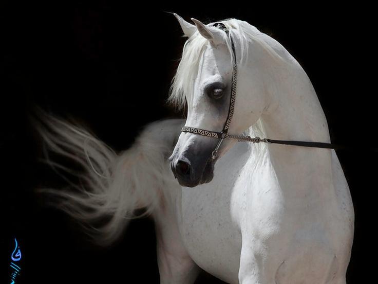 White Arabian Horse | Horses | Pinterest