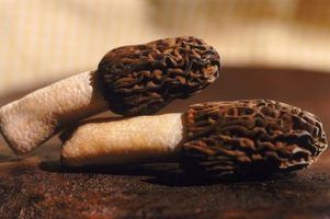 Morels are elusive mushrooms, growing under specific weather conditions.