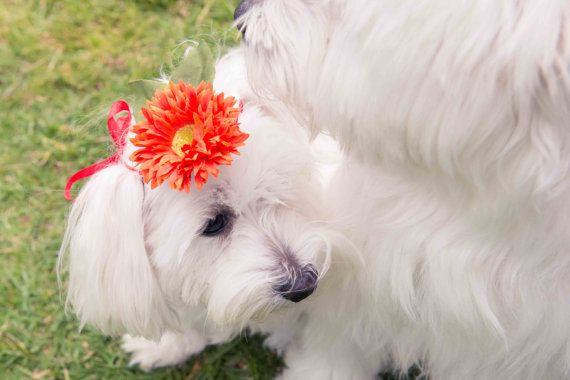 beautiful flower headpieces for your female dog's, visit http://www.etsy.com/listing/168790854/sun-flower?ref=shop_home_active Sun Flower by FleurCrown on Etsy, $14.99