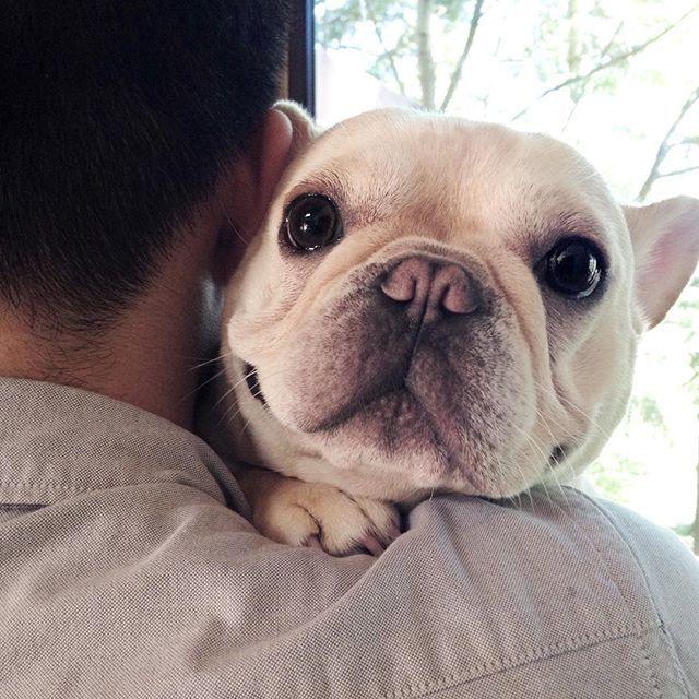 """I Love gettin' Papa Bear Hugs"" , Frenchie Butt, the French Bulldog Puppy"