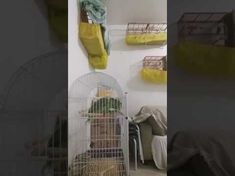 Papagaio Loro papagaio boiadeiro papagaio do chaco Amazona aestiva xanthopteryx parrot singing - YouTube