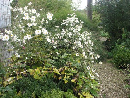 Herfstanemonen - bloeit van eind aug tot eind okt., winterhard, versch. hoogtes, zachte winter bladhoudend
