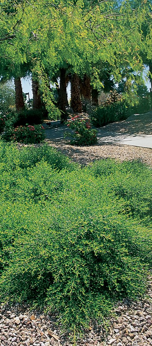 photos of low water and drought tolerant plants trailing desert broom under trees