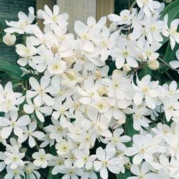 Clematis Armandii.The fastest clematis in the west! Clematis armandii is an astounding variety with some first-class qualities. The glistening white blooms emit one of the first fragrances of spring. You'll also enjoy all year colour thanks to plants being evergreen. Plus rapid growth, great in shade, the list goes on. Order 2 or 3 today, for trouble-free impact in your garden. Height: 5m (15'). Spread: 3m (10'). Pruning group: 1