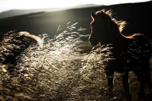 : Horses, Trav'Lin Lights, Beautiful, Natural Lights, Wild Hors, Hors Pics, Iceland Out, Animal, Fields