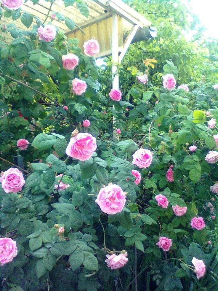 Rózsaszín futórózsa