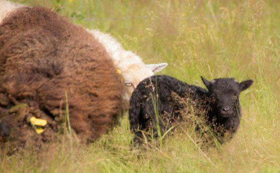 Domaine du Martinaa : Elevage, Gourmandise, Jardinage et Partage: Association Mouton d'Ouessant