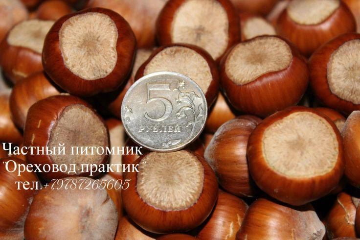 Фундук Трапезунд как один из самых перспективный сортов для промышленнго производства в России и Украине.