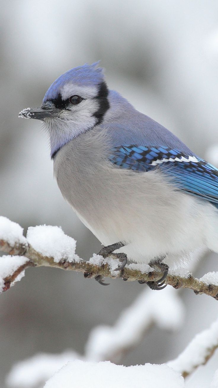 Blue Jay Sitting On A Snowy Branch Iphone Wallpaper Winter