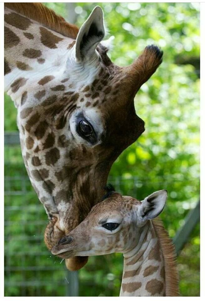 April the giraffe and long awaited baby.