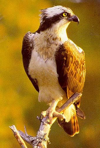 Ospreys returned to breed at loch Garten in the Scottish Highlands in 1954, after many years of absence. Since then, the Scottish osprey population has expanded and now numbers about 150 pairs.