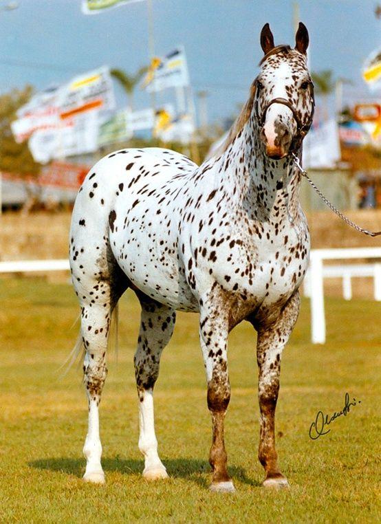 Leopard appaloosa horse                                                       …