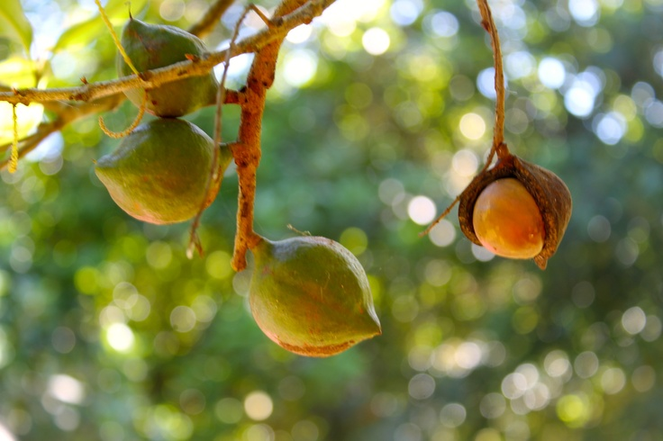 How amazing that nature produces such a beautiful and special thing as the macadamia nut.