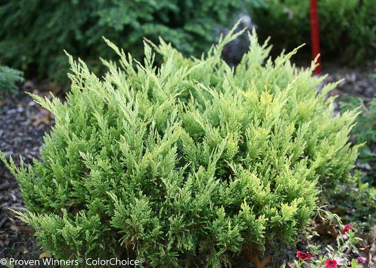 347 Best Evergreen Shrub Images On Pinterest Garden