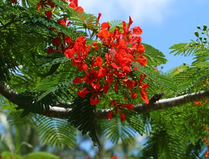 Delonix regia - Royal Poinciana, Flamboyant, Flame Tree - Hawaiian Plants and Tropical Flowers