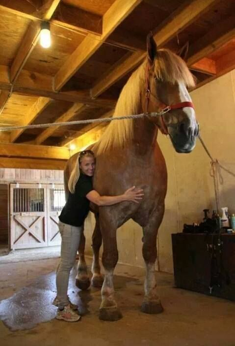 As of 2013 Big Jake is the largest horse in the world, standing at around 20.3 hands! He is 82.75 inches...so to put into hands, he is just about 20.3 hh.