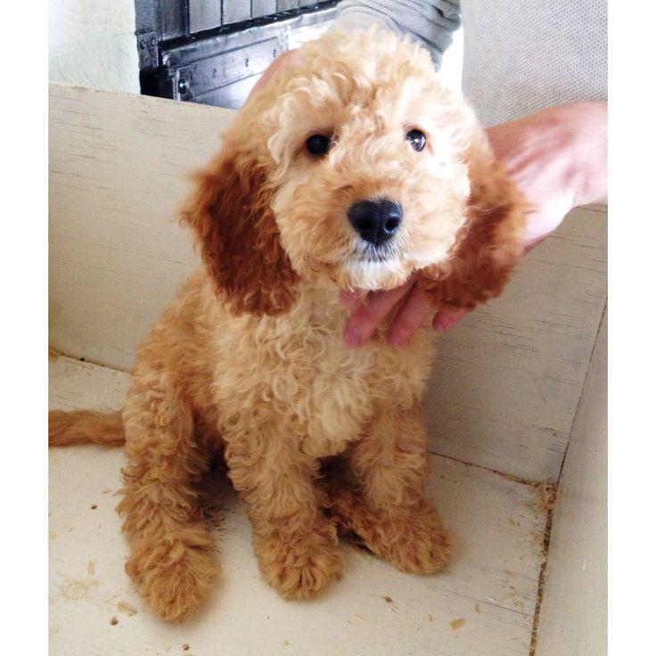Cockapoo Puppies For Sale Mombasa Kenya