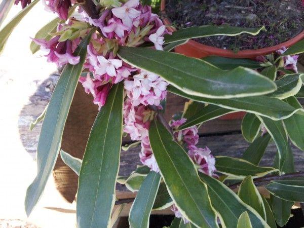 25 best ideas about planta perenne en pinterest - Plantas para rocallas ...