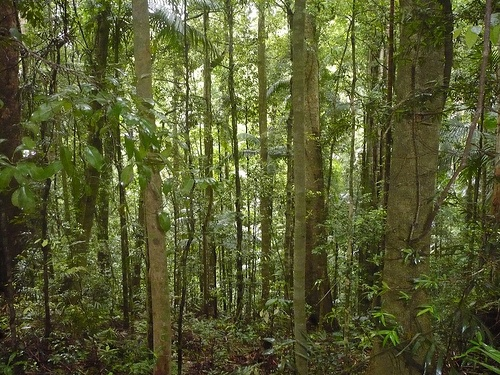 Cluster of trees in Mt. Glorious rainforest, Brisbane, Queensland - a mystic energy field.