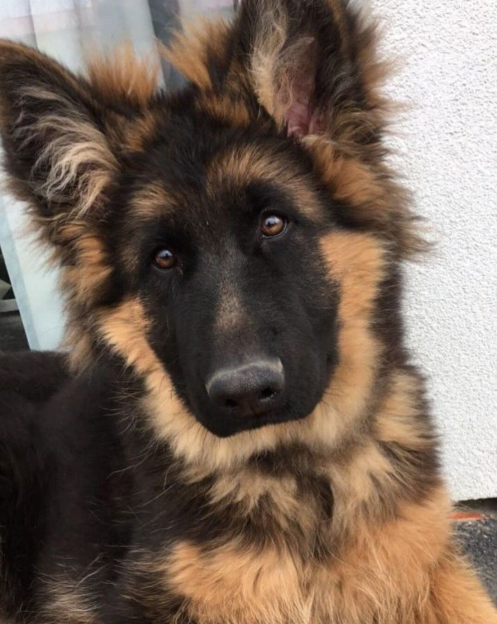 Cute German Shepherd …..Do you love cute dogs like this, Follow our #Petsdope Pinterest Account to see other cute pet photos. ;) ..#gsd #gsddog #gsd…